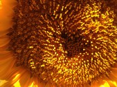 sunflower-giant_closeup